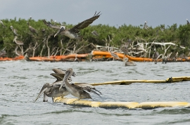 pelicans in the Gulf