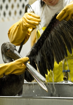 cleaning pelicans