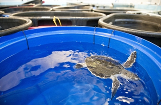 Kemp?s ridley turtle recuperates in one of the tanks at the ...